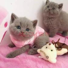 ¥1350 英国短毛猫蓝猫