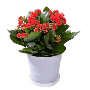 长寿花超美绿植带盆盆栽 ¥7