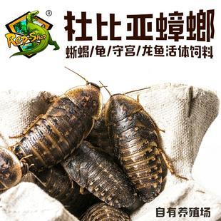 Rep-Shop 杜比亚蟑螂 活体饲料 3-4cm 100g 70-80只 18.9元包邮(需用券) ¥19